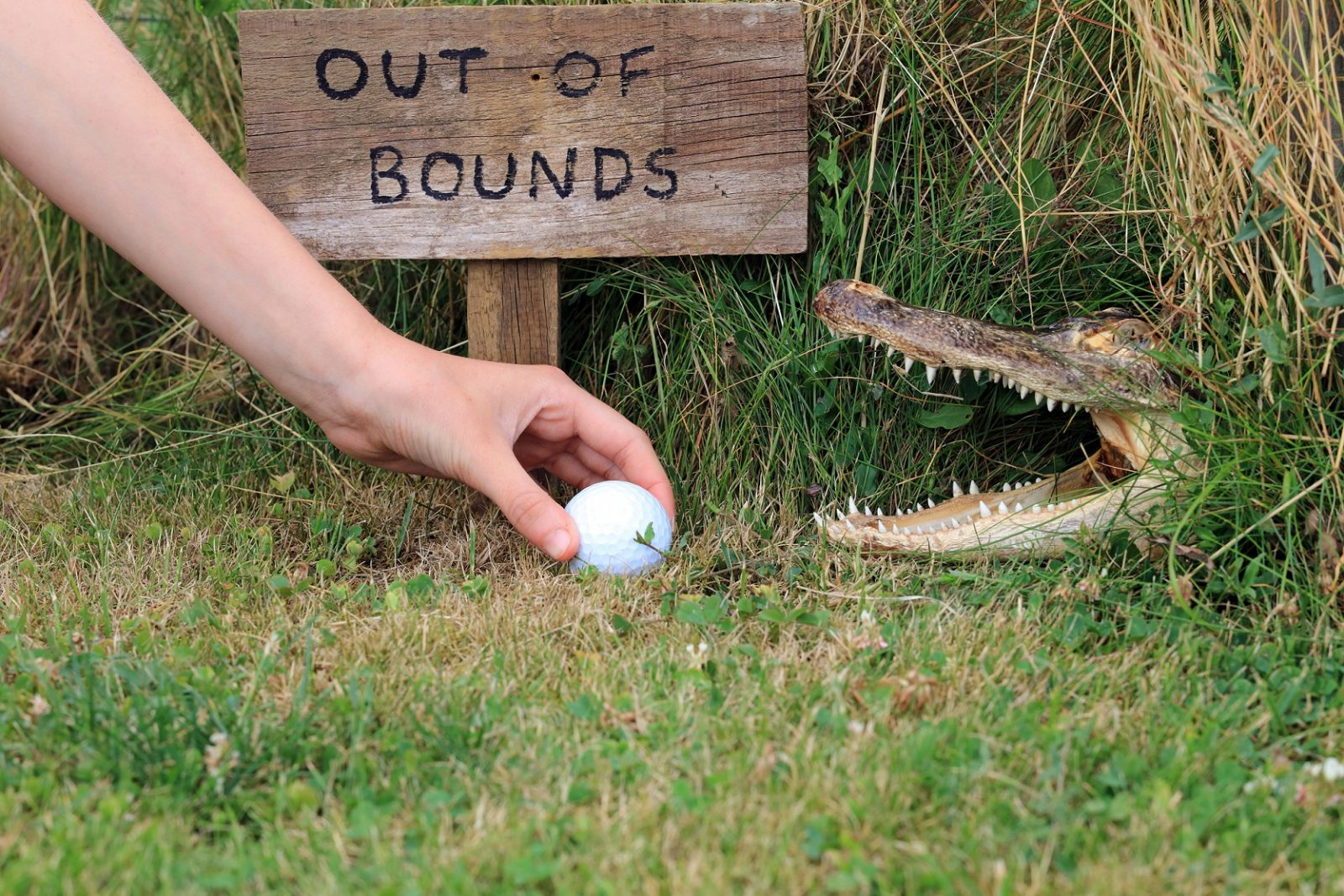 """A hand reaches for a golf ball nestled in the grass near a sign reading """"Out of Bounds"""" and an alligator with its mouth open."""
